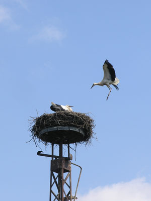 Fliegender Jungstorch